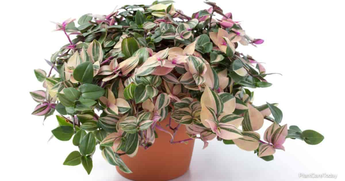 potted - wandering jew - tradescantia tricolor