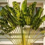 Growing Travelers Palm: How To Care For Ravenala Madagascariens
