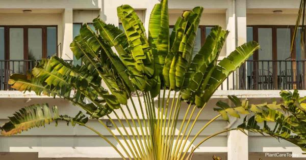 Attractive fronds and foliage of the Travelers palm Ravenala madagascariensis