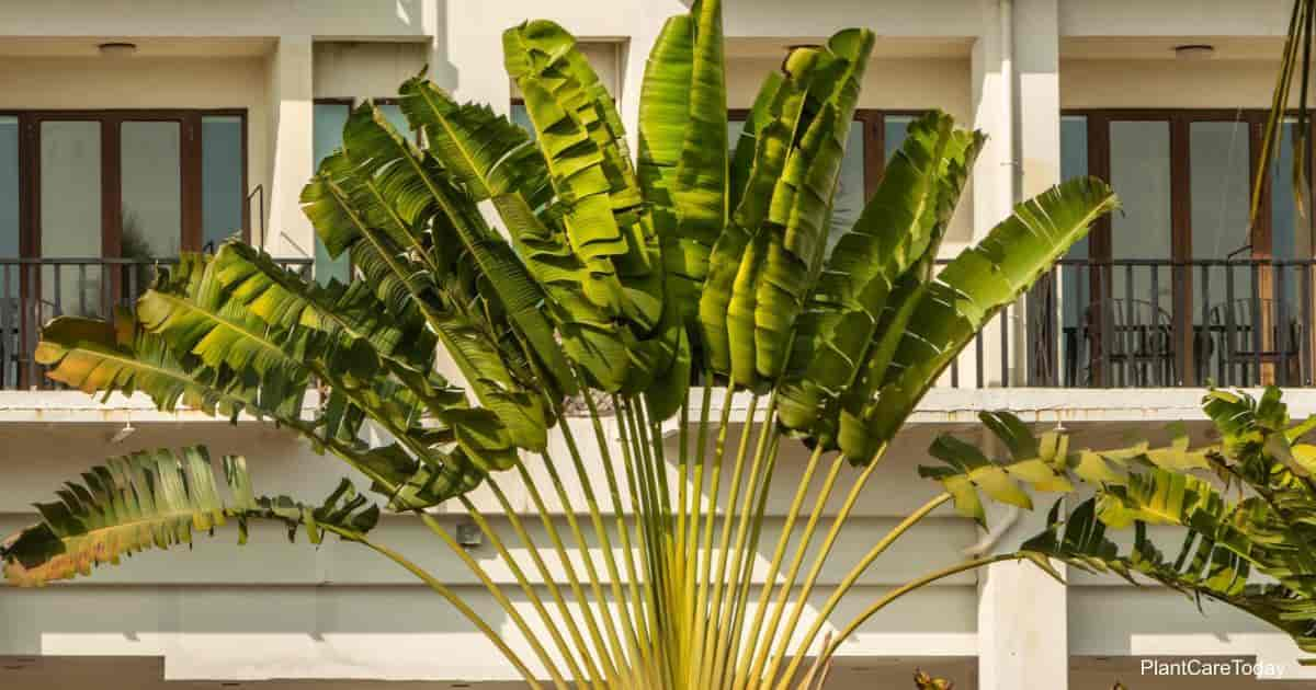 Attractive fan like foliage of the Traverlers palm