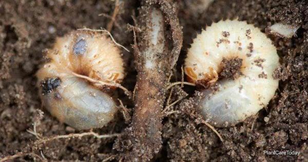 اليرقة تتغذى على الجذور