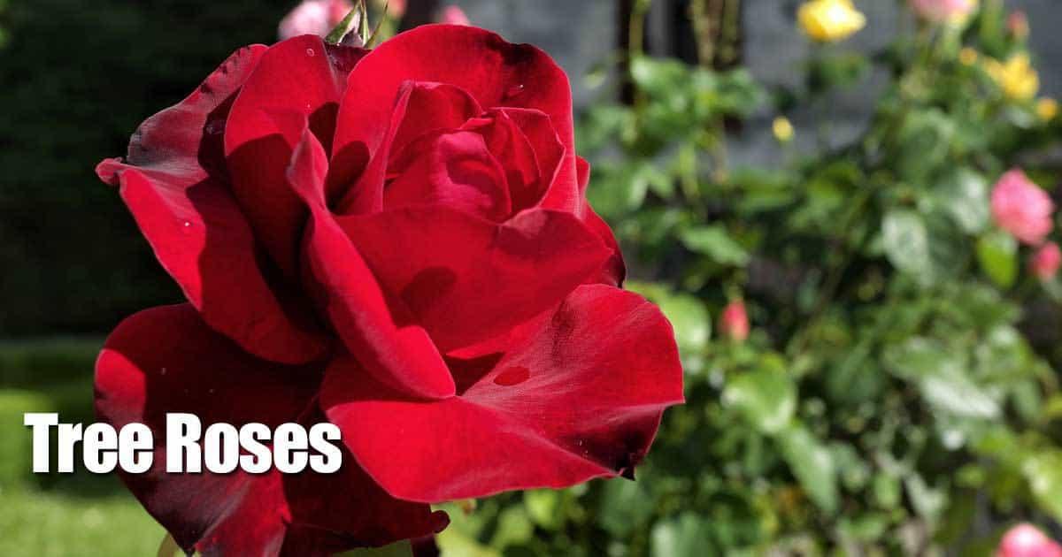 tree-roses-10312015