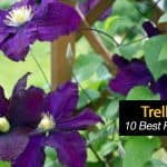 Trellis Plants: What Are 10 Of The Best Flowering Vines?