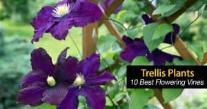 What Are 10 Of The Best Trellis Plants and Flowering Vines?