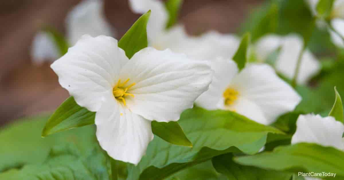Blooming White Trillium grandiflorum