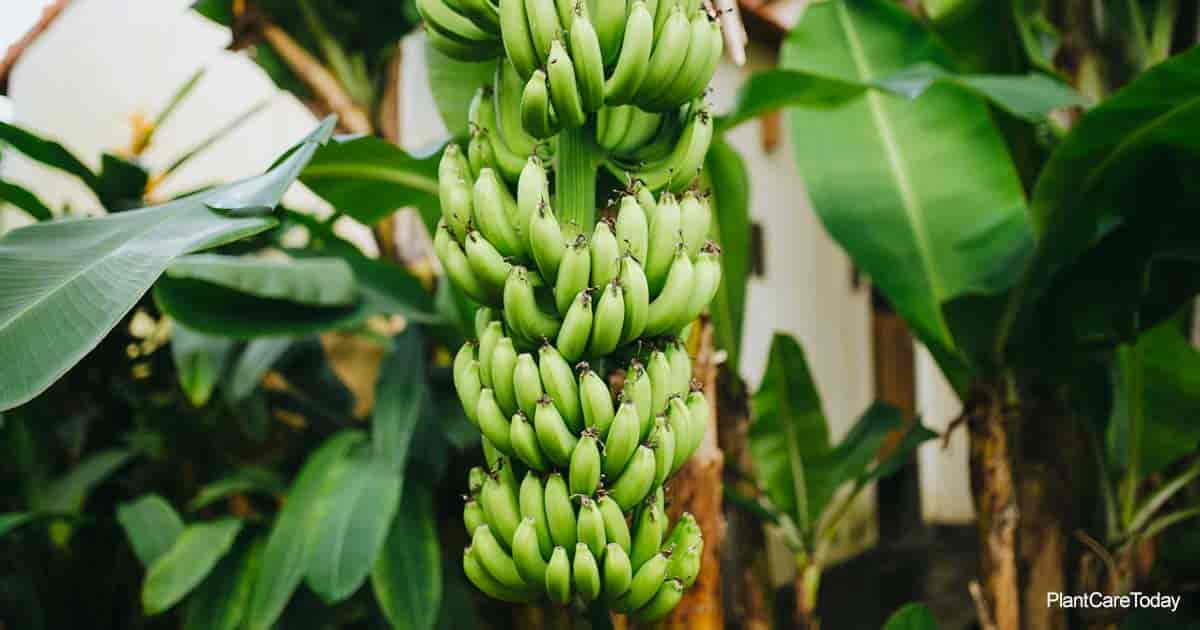 green bunch of tropical banana fruit