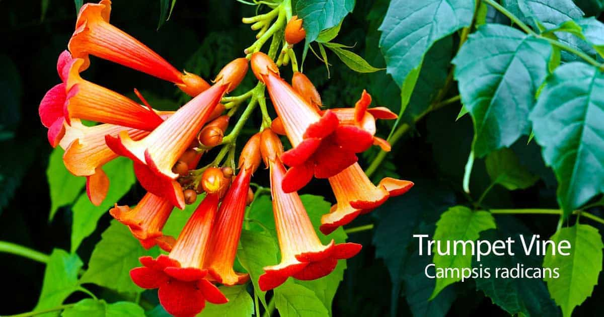Trumpet vine how to care for campsis radicans the orange trumpet vine plant is favored for its heavy clean green foliage and sturdy stems tipped with clusters of bold trumpet shaped flowers in shades mightylinksfo Choice Image