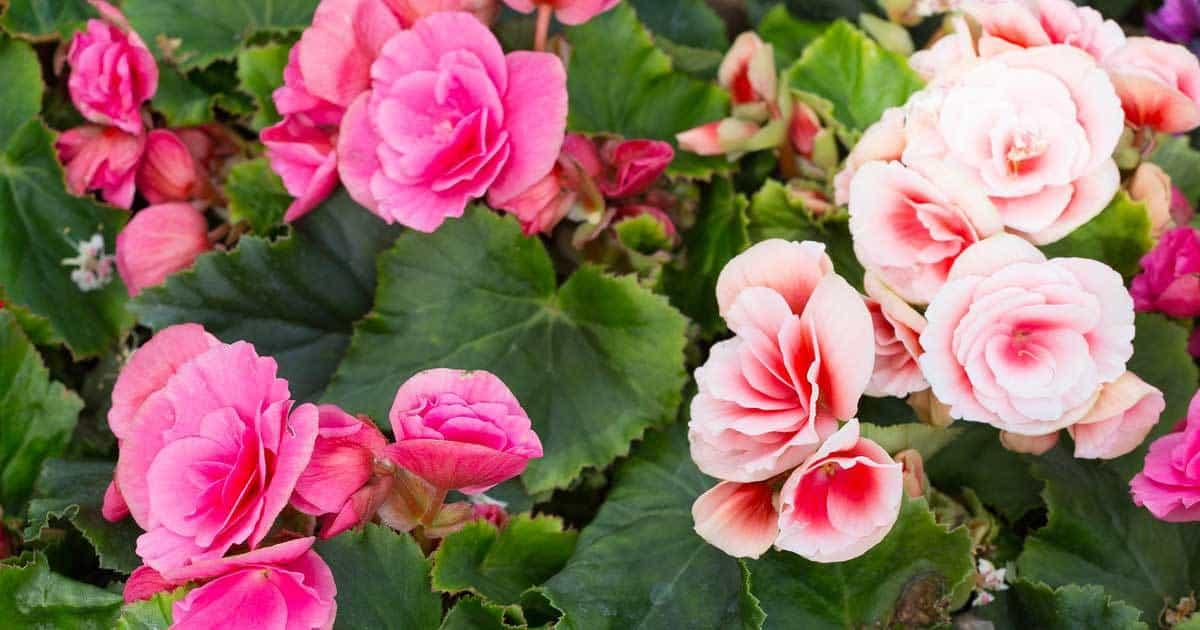 tuberous-begonia-bulbs-blooming