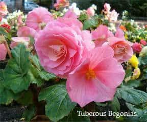 tuberous-begonias-flowering