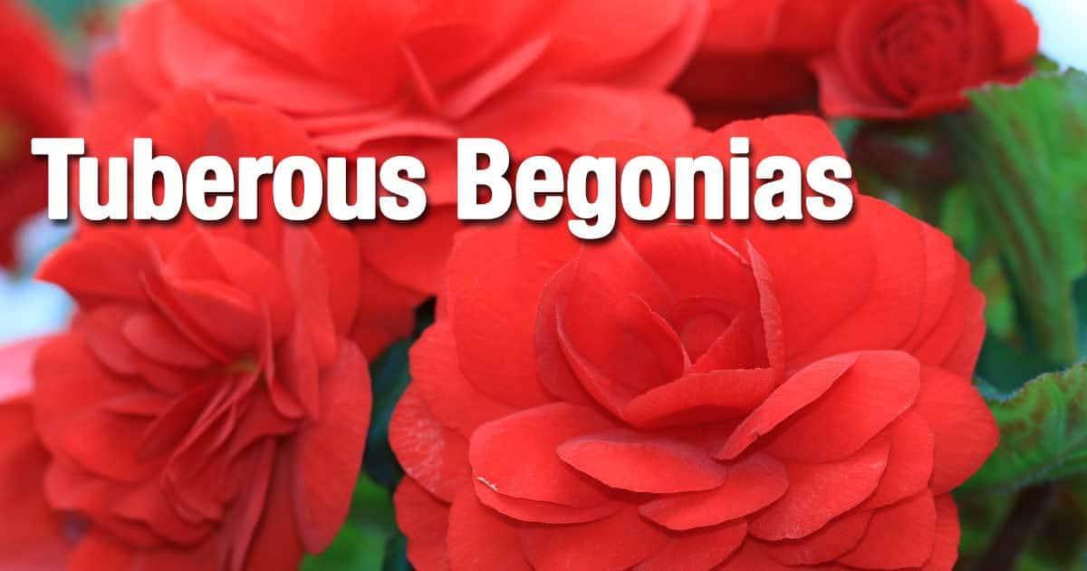 tuberous-begonias-growing-02312016