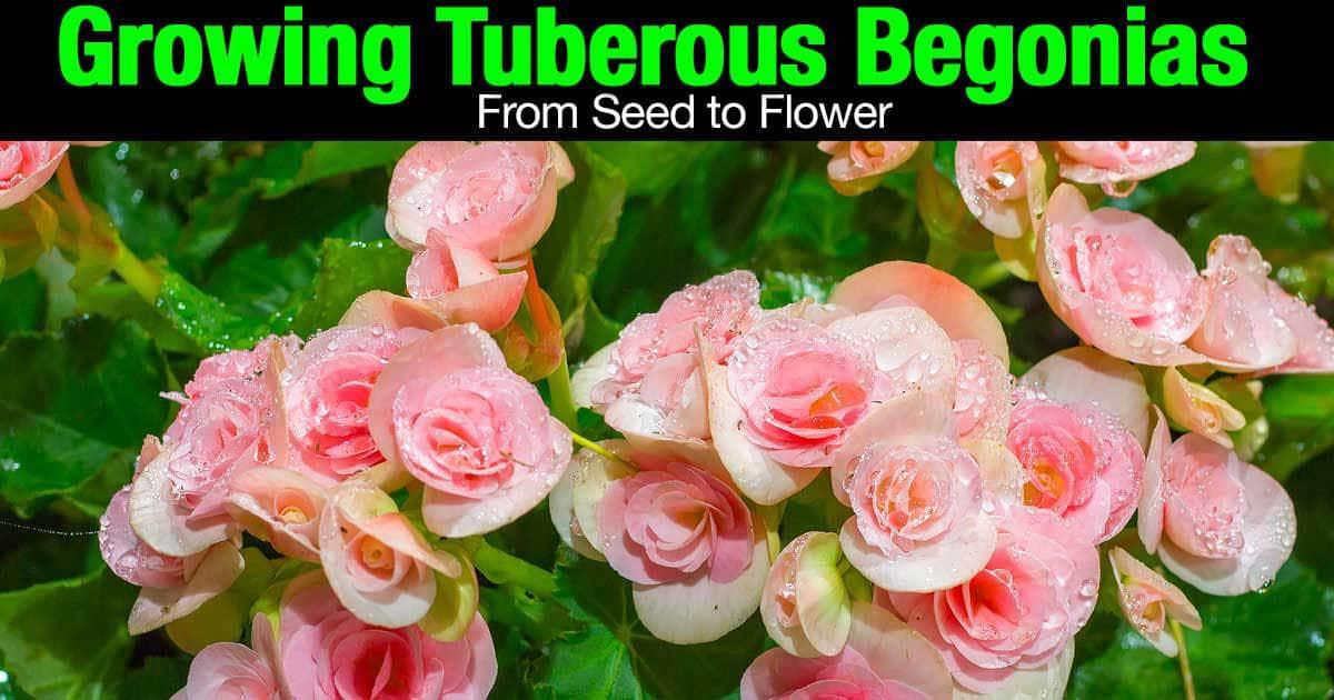begonias-tuberosas-semilla-flor-02292016