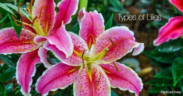Beautiful flowers of one of the many types of lilies