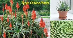 18 Types of Aloe Plants With Images