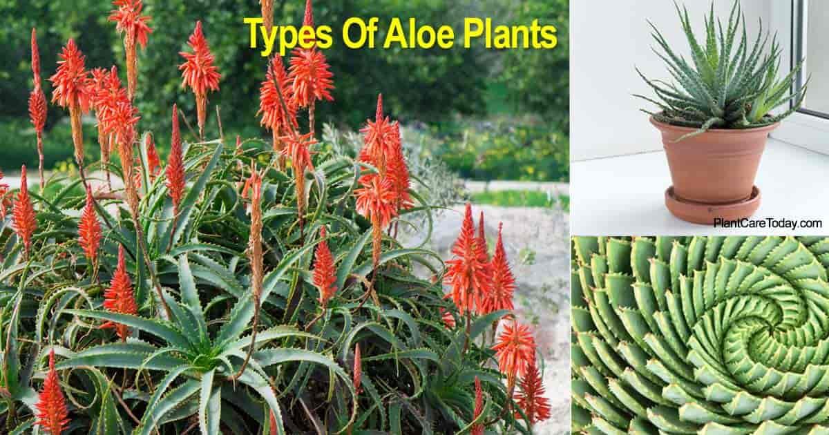 Different varieties of Aloe