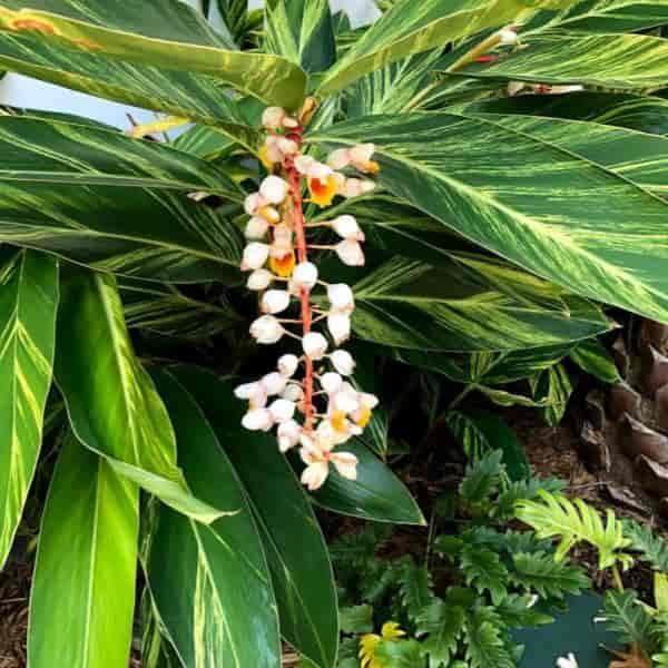 Variegated shell ginger flower