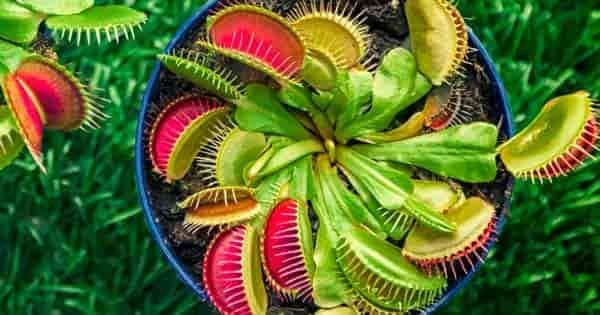 venus fly trap the inside looking down