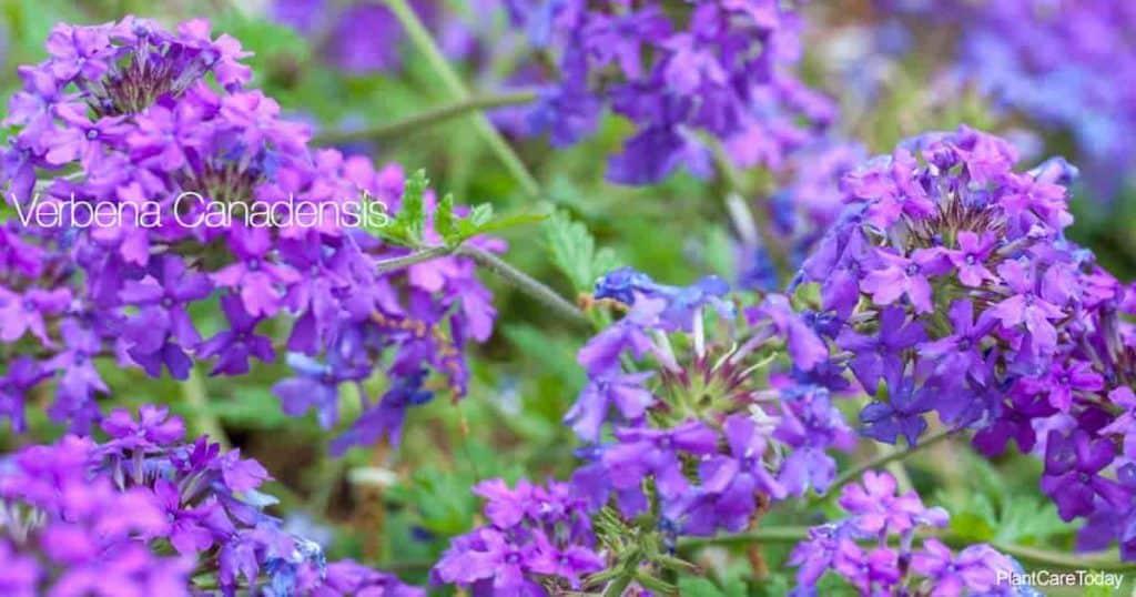 Blooming Trailing Verbena - Verbena canadensis