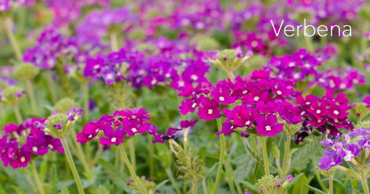 verbena-flower-07312016