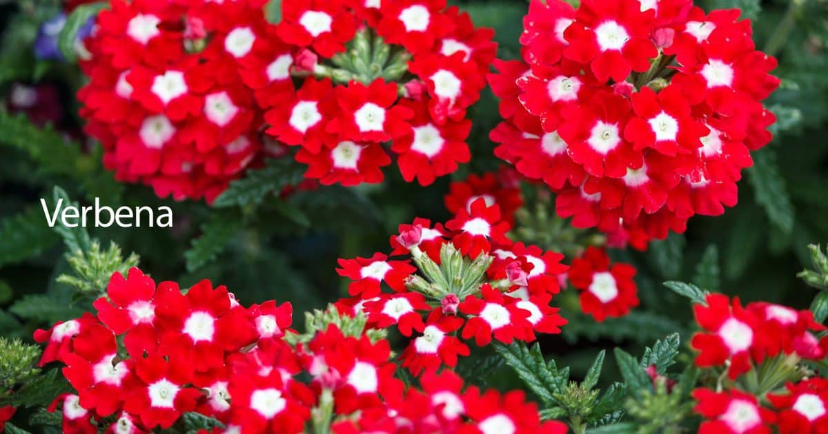 Verbena plant care how to grow the verbena flower for Plants that live long