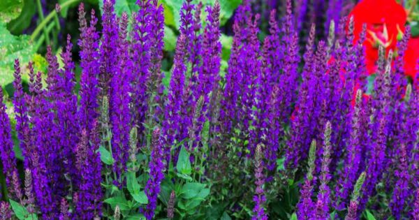 Deep purple blooms of the speedwell spicata