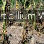 What You Need To Know About Verticillium Wilt Of Trees & Shrubs
