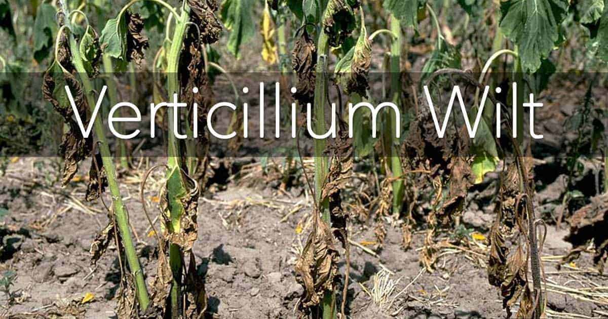 Verticillium Wilt on sunflowers