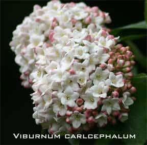 viburnum-carlcephalum