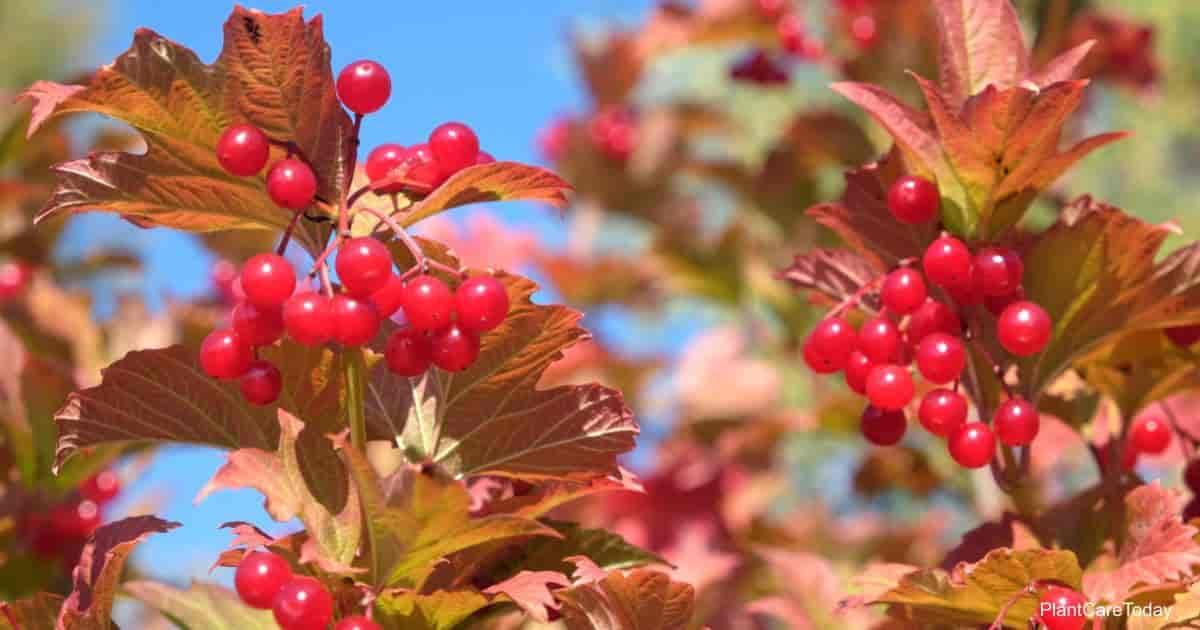 Berries on the branches viburnum dentatum