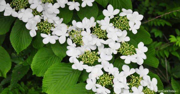 Flowering Viburnum Plicatum (Japanese Snowball)