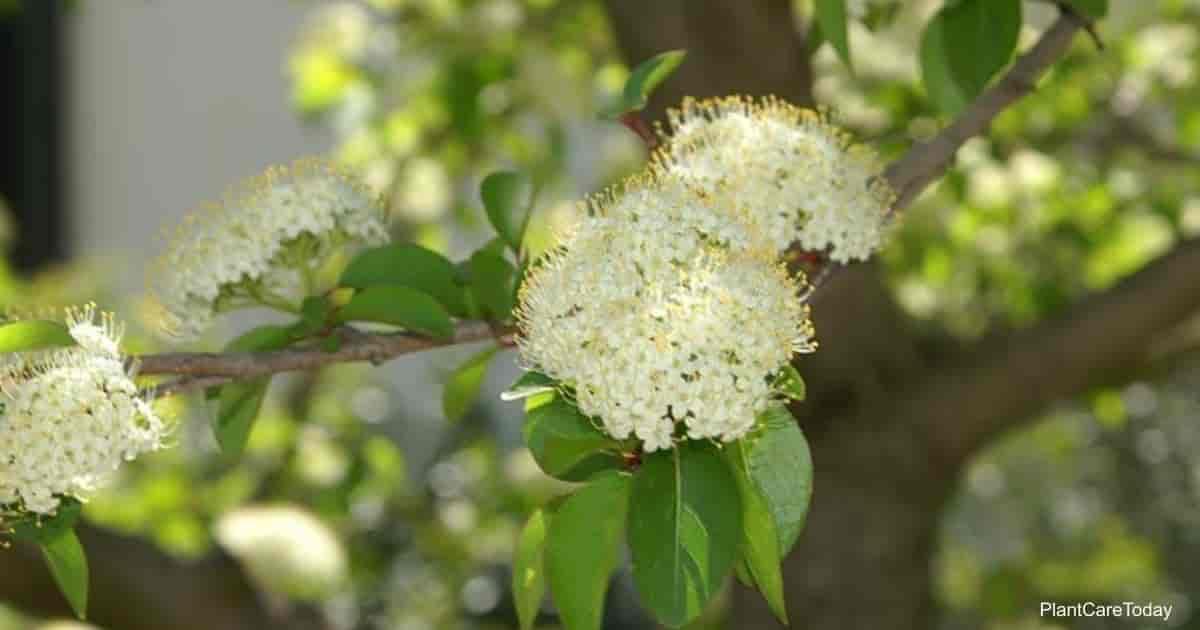 Flowering Viburnum prunifolium