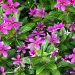 Trailing Vinca Plant Care: How To Grow Catharanthus Roseus