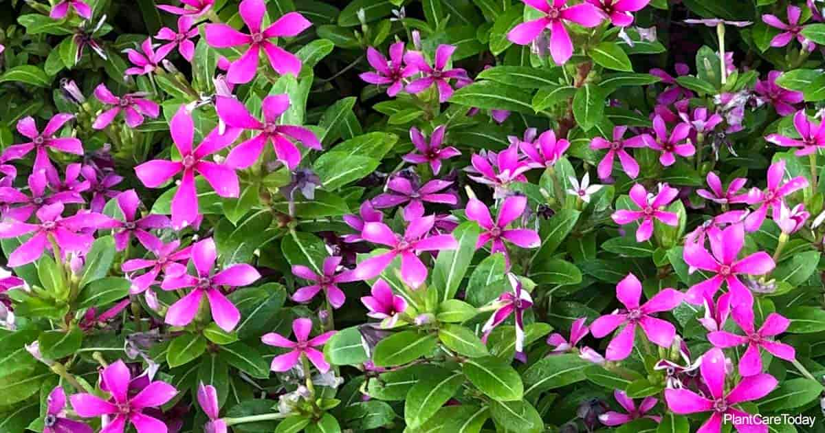 colorful purple pink blooms of the trailing Vinca
