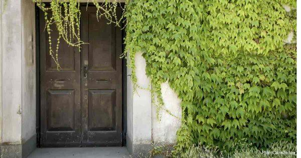 unpruned vines growing around front door enterance