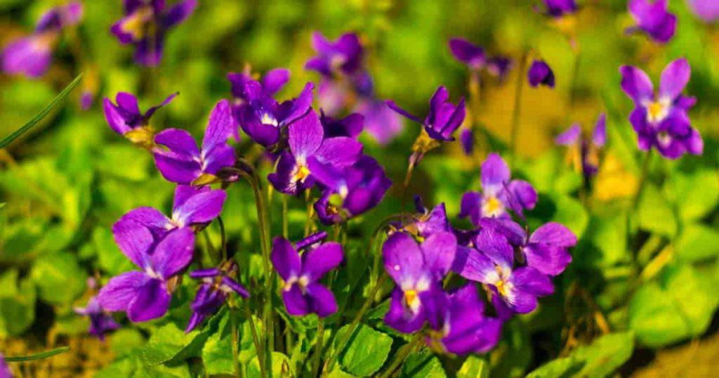 Purple-violet blooming viola odorata flowers as aground cover.