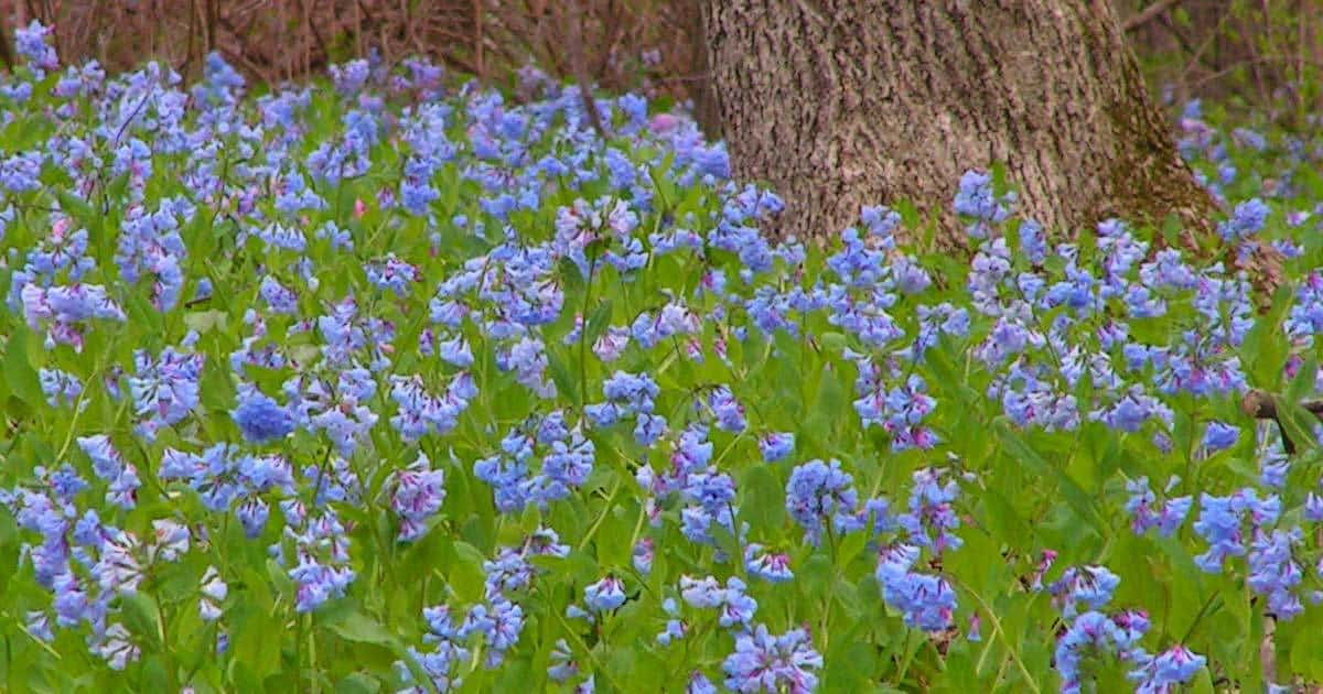 virginia-bluebells-02282015