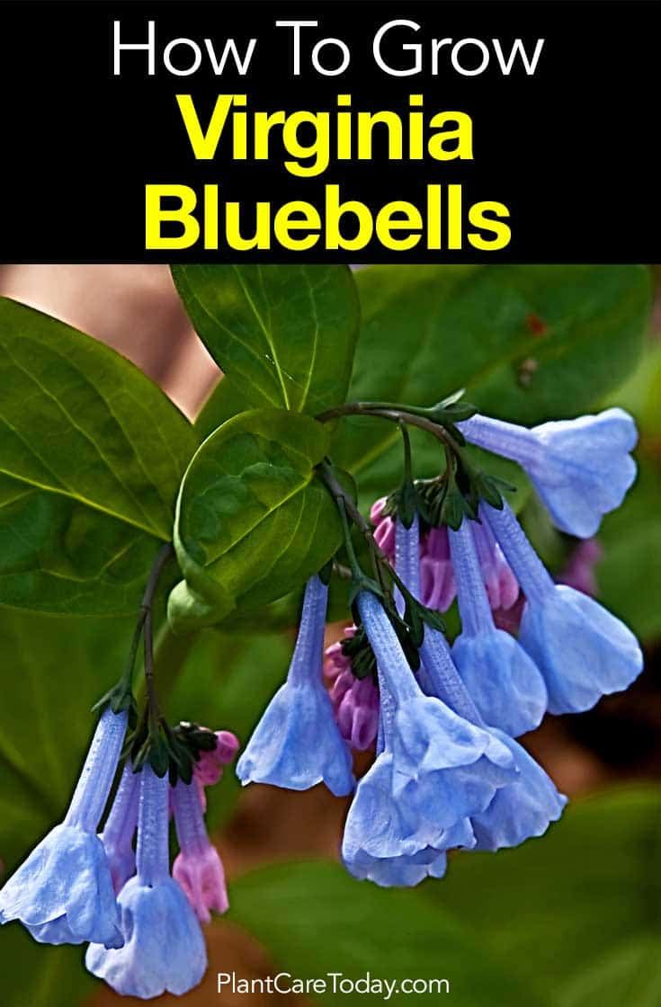 flowers of the Virginia Bluebells - Mertensia virginica