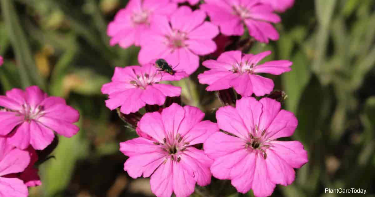 Pink flowers of the Silene Viscaria