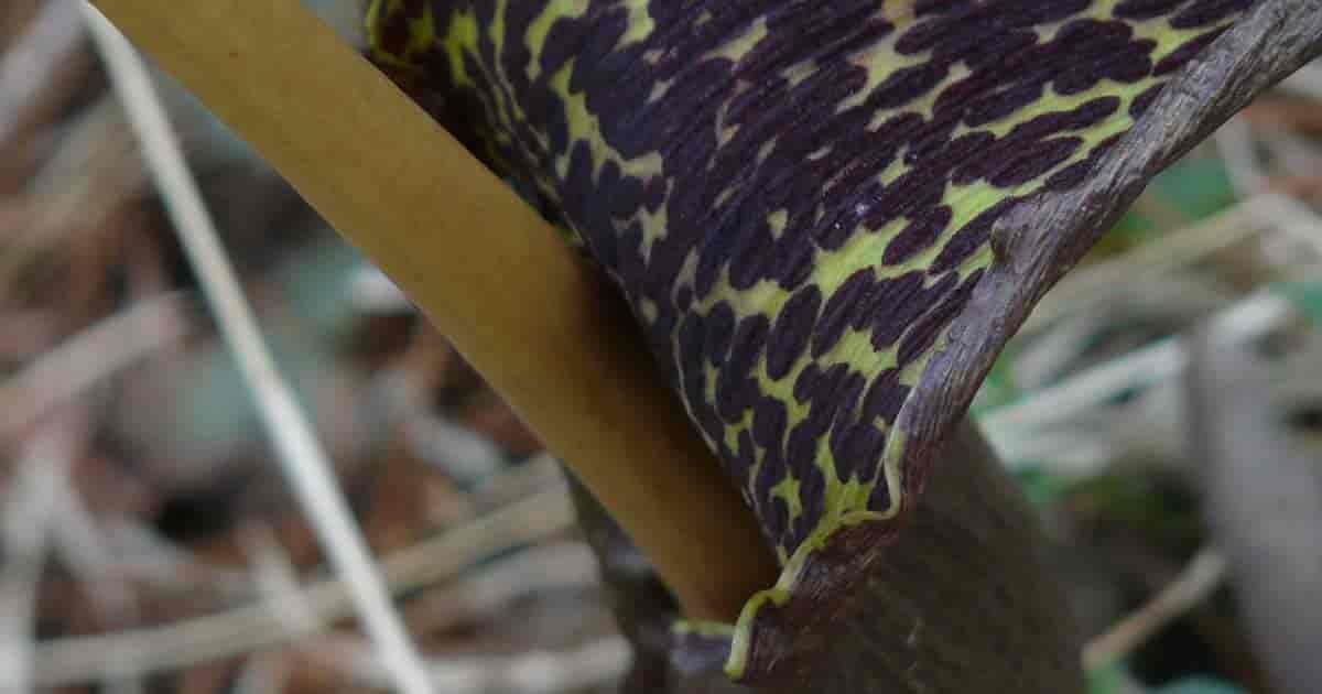 Voodoo lily [Sauromatum_venosum] up close