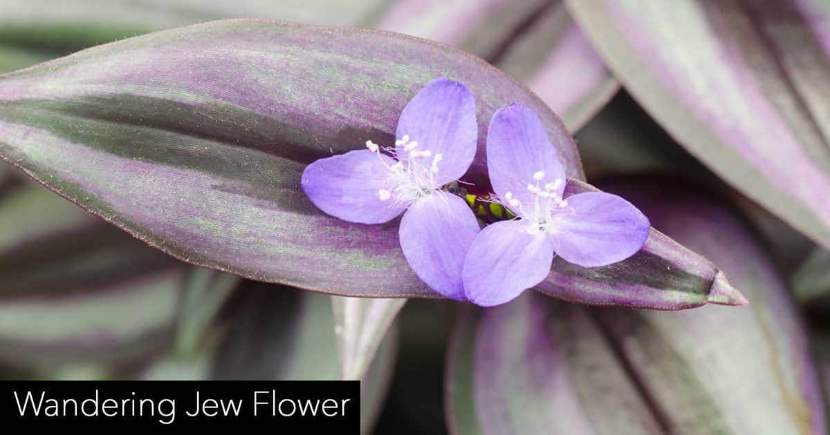 wandering jew flowers