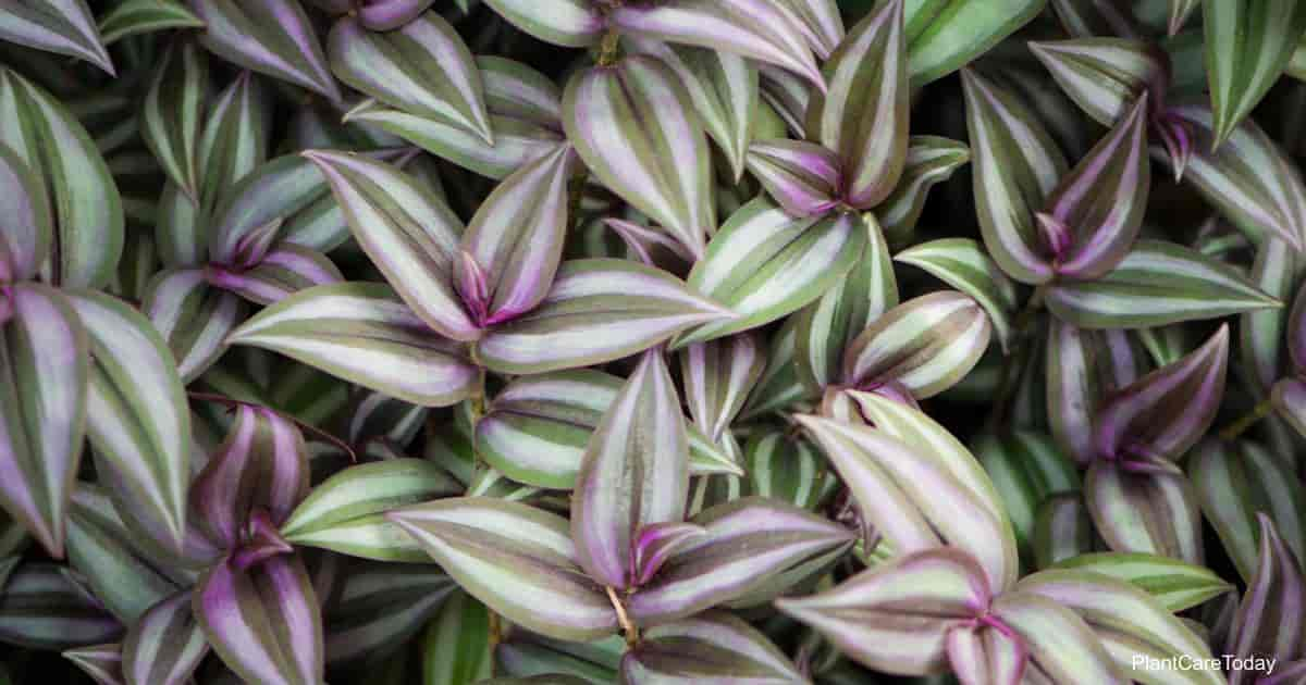 wandering jew plant growing as a groundcover