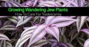 the popular wandering jew - Tradescantia