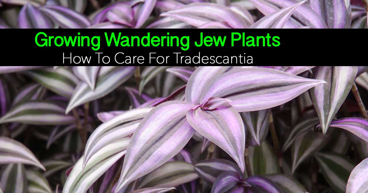 the popular wandering jew - Tradescantia