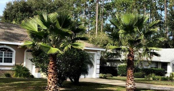 Washingtonia palm growing in landscape