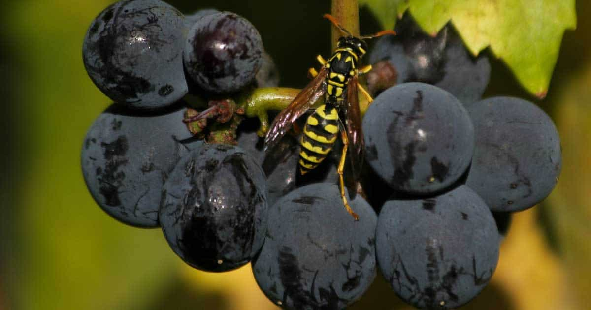 wasp-grape-03312016