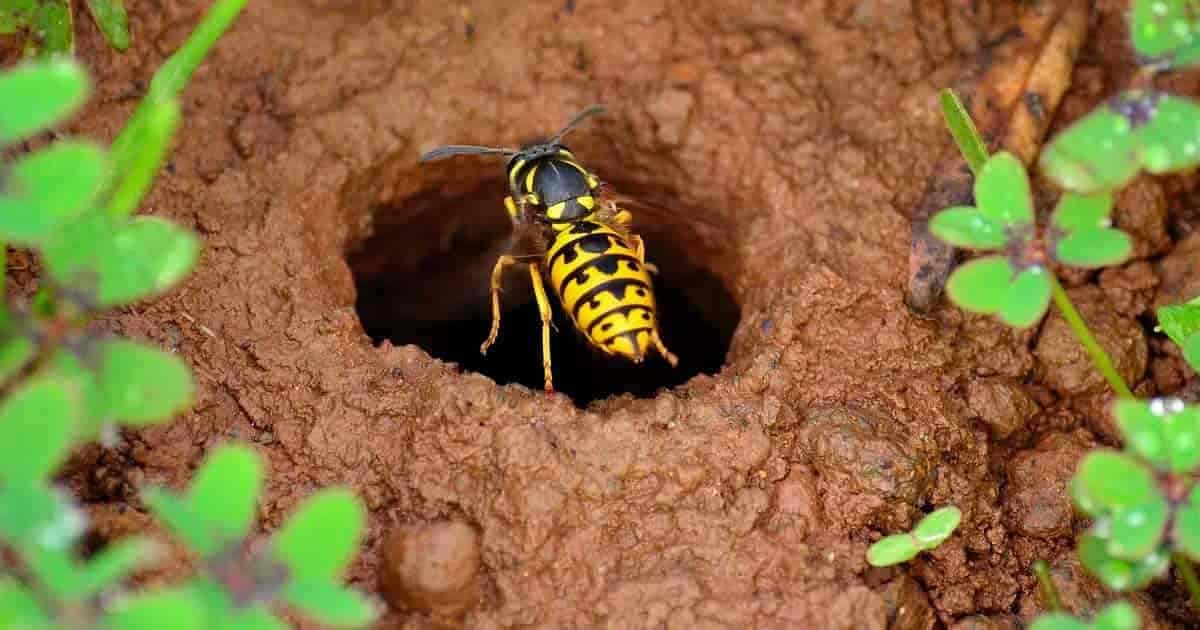 wasp entering a burrow