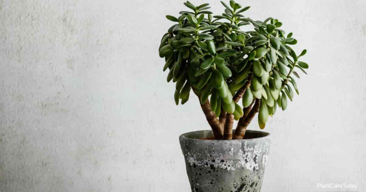 Watering tips for a potted jade plant