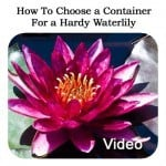 How To Choose a Container For a Hardy Waterlily