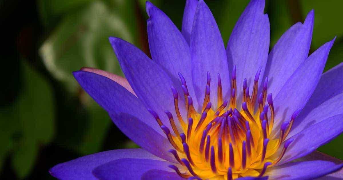water lily ponds share the beauty of with their flowers