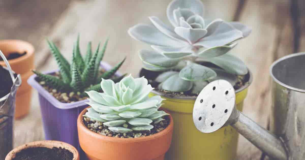 succulents to water with watering can