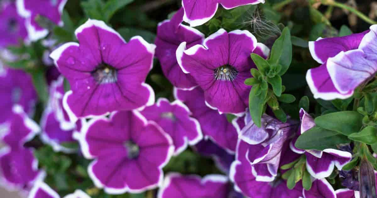 Colorful Blooms of Wave Petunias